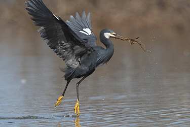 Western Reef-Egret (Egretta gularis) carrying nesting material, Cape Point, Gambia  -  Dave Montreuil/ BIA