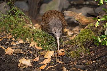 North Island Brown Kiwi (Apteryx australis mantelli) foraging in nocturnal kiwi house, Orana Wildlife Park, Christchurch, New Zealand  -  Tui De Roy