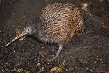 North Island Brown Kiwi (Apteryx australis mantelli) in nocturnal kiwi house, Orana Wildlife Park, Christchurch, New Zealand  -  Tui De Roy
