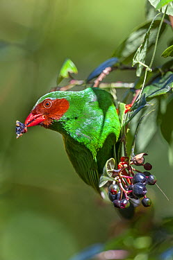 Grass-green Tanager (Chlorornis riefferii) feeding on berries, Bellavista Cloud Forest Reserve, Tandayapa Valley, Andes, Ecuador  -  Tui De Roy