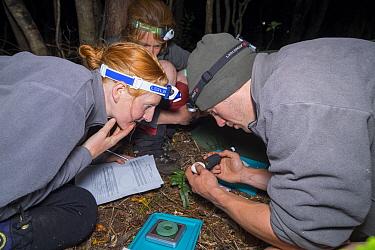 Kakapo (Strigops habroptilus) biologists candling egg to check on development of the embryo, Codfish Island, Southland, New Zealand  -  Tui De Roy