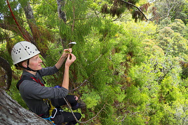 Kakapo (Strigops habroptilus) biologist climbing tree to count unripe seeds which will be an indicator whether the kakapo will breed this year, Codfish Island, Southland, New Zealand  -  Tui De Roy