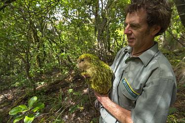 Kakapo (Strigops habroptilus) biologist with captured male bird to collect semen for artificial insemination, Codfish Island, Southland, New Zealand  -  Tui De Roy
