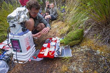Kakapo (Strigops habroptilus) biologist checking bird semen for artificial insemination, Codfish Island, Southland, New Zealand  -  Tui De Roy