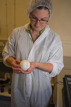 Okarito Kiwi (Apteryx rowi) biologist Catherine Roughton inspecting egg for hatching progress of chick, West Coast Wildlife Centre, New Zealand  -  Tui De Roy