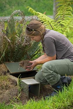 Okarito Kiwi (Apteryx rowi) biologist placing chick in outdoor pen before it is moved to predator-free island, West Coast Wildlife Centre, New Zealand  -  Tui De Roy