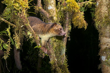 Olinguito (Bassaricyon neblina), the first new carnivore discovered in the Americas for 35 years, Andes, Ecuador  -  Tui De Roy