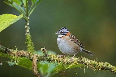Rufous-collared Sparrow (Zonotrichia capensis), Bellavista Cloud Forest Reserve, Tandayapa Valley, Andes, Ecuador  -  Tui De Roy
