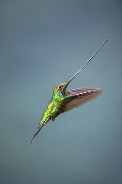 Sword-billed Hummingbird (Ensifera ensifera) flying, Yanacocha Reserve, Andes, Ecuador  -  Tui De Roy