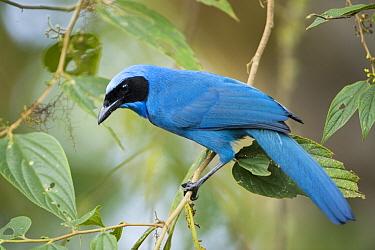 Turquoise Jay (Cyanolyca turcosa), Bellavista Cloud Forest Reserve, Tandayapa Valley, Andes, Ecuador  -  Tui De Roy