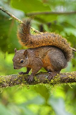 Red-tailed Squirrel (Sciurus granatensis), Bellavista Cloud Forest Reserve, Tandayapa Valley, Andes, Ecuador  -  Tui De Roy