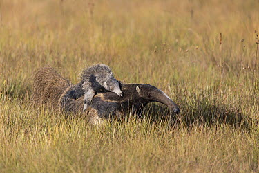 Giant Anteater (Myrmecophaga tridactyla) mother carrying young, Serra de Canastra National Park, Brazil  -  Suzi Eszterhas