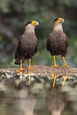 Southern Caracara (Caracara plancus) pair, Pantanal, Brazil  -  Suzi Eszterhas