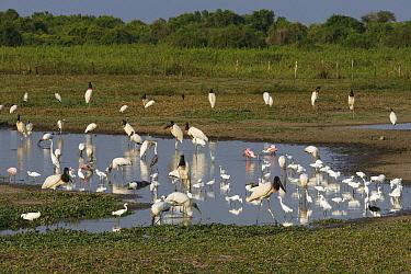 Jacare Caiman (Caiman yacare), Great Egret (Ardea alba), Limpkin (Aramus guarauna), Jabiru (Jabiru mycteria), Wood Stork (Mycteria americana), Snowy Egret (Egretta thula), White-necked Heron (Ardea co...  -  Suzi Eszterhas