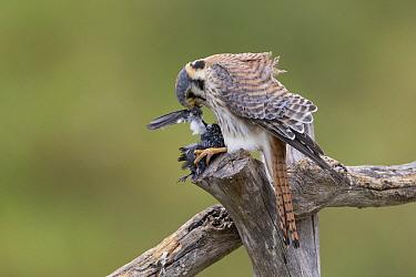 American Kestrel (Falco sparverius) female feeding on songbird, Pantanal, Brazil  -  Suzi Eszterhas