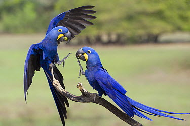 Hyacinth Macaw (Anodorhynchus hyacinthinus) pair fighting, Pantanal, Brazil.Sequence 3 of 4  -  Suzi Eszterhas