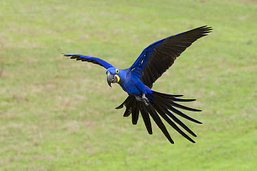 Hyacinth Macaw (Anodorhynchus hyacinthinus) flying, Pantanal, Brazil  -  Suzi Eszterhas