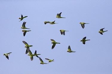 Monk Parakeet (Myiopsitta monachus) flock flying, Pantanal, Brazil  -  Suzi Eszterhas