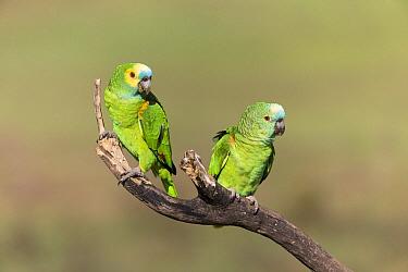Blue-fronted Parrot (Amazona aestiva) mating pair, Pantanal, Brazil  -  Suzi Eszterhas