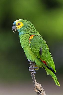 Blue-fronted Parrot (Amazona aestiva), Pantanal, Brazil  -  Suzi Eszterhas
