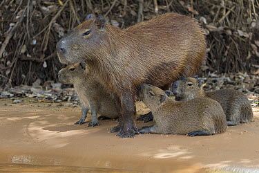 Capybara (Hydrochoerus hydrochaeris) mother nursing young, Pantanal, Brazil  -  Suzi Eszterhas