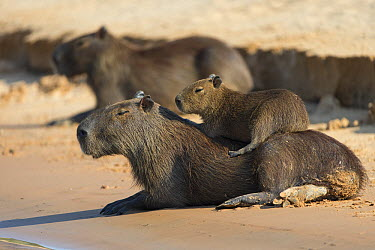 Capybara (Hydrochoerus hydrochaeris) young resting on mother, Pantanal, Brazil. Sequence 1 of 5  -  Suzi Eszterhas