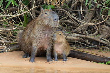 Capybara (Hydrochoerus hydrochaeris) mother and pup on riverbank, Pantanal, Brazil  -  Suzi Eszterhas