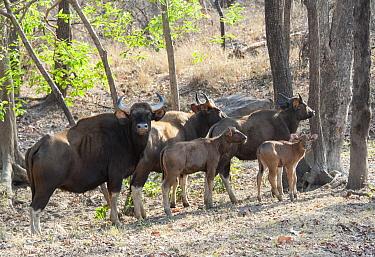 Gaur (Bos gaurus) herd, Satpura National Park, India  -  Suzi Eszterhas