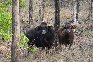 Gaur (Bos gaurus) male and female, Satpura National Park, India  -  Suzi Eszterhas