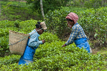 Women working in tea field surrounding protected area, Kaziranga National Park, India  -  Suzi Eszterhas