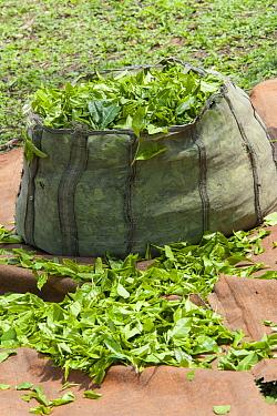Collected tea leaves, Kaziranga National Park, India  -  Suzi Eszterhas