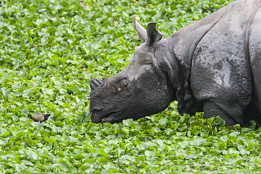 Indian Rhinoceros (Rhinoceros unicornis) facing Bronze-winged Jacana (Metopidius indicus) in wetland, Kaziranga National Park, India  -  Suzi Eszterhas