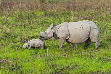 Indian Rhinoceros (Rhinoceros unicornis) mother and one week old calf, Kaziranga National Park, India, digitally removed grass from foreground  -  Suzi Eszterhas