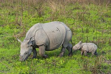 Indian Rhinoceros (Rhinoceros unicornis) mother grazing with one week old calf, Kaziranga National Park, India, digitally removed grass from foreground  -  Suzi Eszterhas