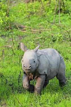 Indian Rhinoceros (Rhinoceros unicornis) one week old calf, Kaziranga National Park, India  -  Suzi Eszterhas