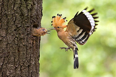 Eurasian Hoopoe (Upupa epops) feeding chick in nest cavity, Saxony, Germany  -  Thomas Hinsche/ BIA