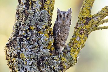 Common Scops-Owl (Otus scops), Castile-La Mancha, Spain  -  Mario Suarez Porras/ BIA