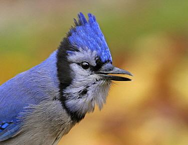 Blue Jay (Cyanocitta cristata) calling, Saskatchewan, Canada  -  Nick Saunders/ BIA