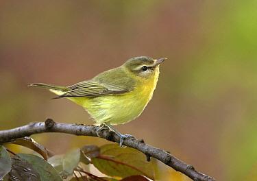 Philadelphia Vireo (Vireo philadelphicus), Saskatchewan, Canada  -  Nick Saunders/ BIA