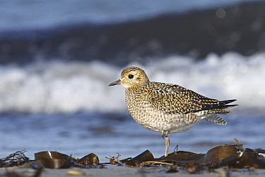 Golden Plover (Pluvialis apricaria), Schleswig-Holstein, Germany  -  Volker Hesse/ BIA