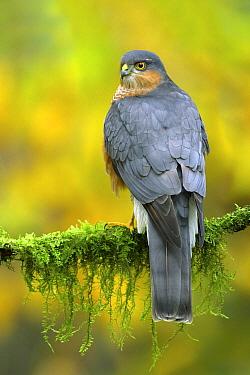 Eurasian Sparrowhawk (Accipiter nisus) male, Utrecht, Netherlands  -  Walter Soestbergen/ BIA