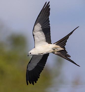 Swallow-tailed Kite (Elanoides forficatus) flying, Florida  -  Ron Bielefeld/ BIA