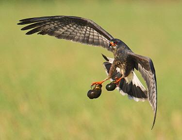 Snail Kite (Rostrhamus sociabilis) male flying with snail prey, Florida  -  Ron Bielefeld/ BIA