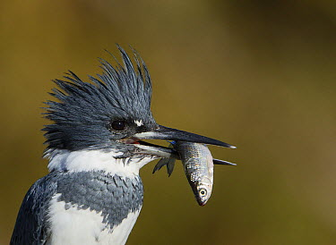 Belted Kingfisher (Megaceryle alcyon) male with fish prey, Florida  -  Ron Bielefeld/ BIA