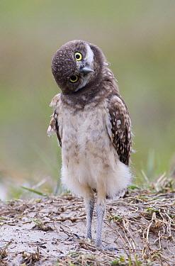 Burrowing Owl (Athene cunicularia) juvenile, Florida  -  Ron Bielefeld/ BIA