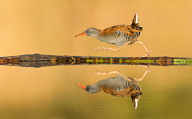 Water Rail (Rallus aquaticus) hurrying, Amsterdam, Netherlands  -  Franka Slothouber/ BIA