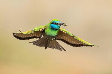 Little Green Bee-eater (Merops orientalis) flying with bee prey, Eilat, Israel  -  Avi Meir/ BIA