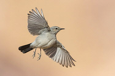 Blackstart (Cercomela melanura) flying, Eilat, Israel  -  Avi Meir/ BIA