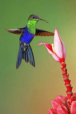 Violet-crowned Woodnymph (Thalurania colombica) hummingbird male feeding on flower nectar, Costa Rica  -  Graeme Guy/ BIA