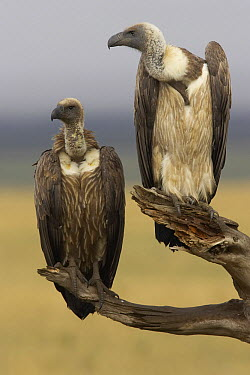 White-backed Vulture (Gyps africanus) and sub-adult, Masai Mara, Kenya  -  Graeme Guy/ BIA